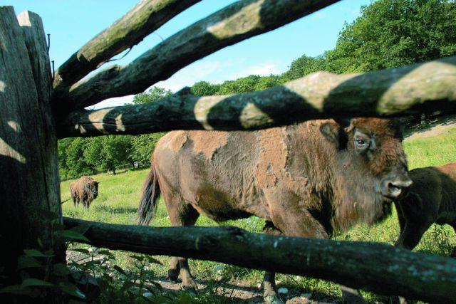 Land der Bisons: Binson Schutzgebiet in Hateg