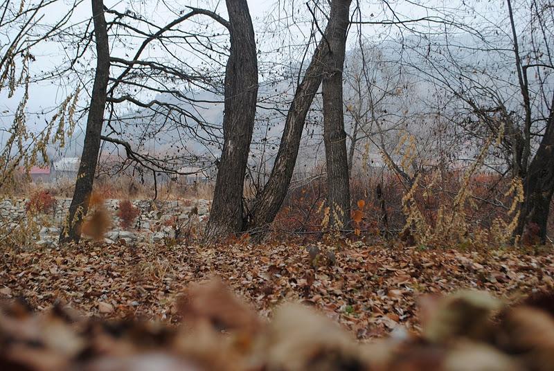Fagul Fermecat de la Muncelu, copacul căruia nu îi cad frunzele niciodată