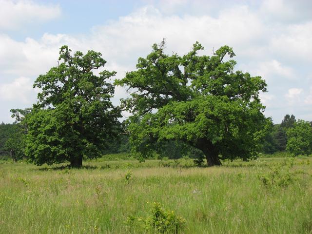 Paradis natural: Stejarii de 800 de ani de la Breite, Sighișoara