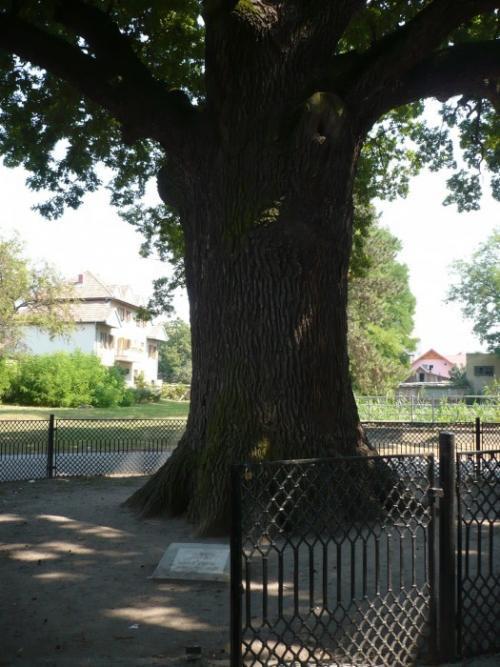 Legenda Stejarului lui Avram Iancu, un batran de 600 de ani